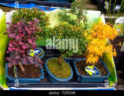 Bonsai tree plants for sale in a garden centre - Stock Image