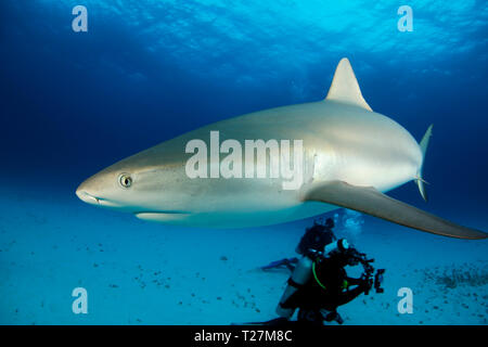 Caribbean Reef Shark (Carcharhinus perezi) Close-up. Tiger Beach, Bahamas - Stock Image