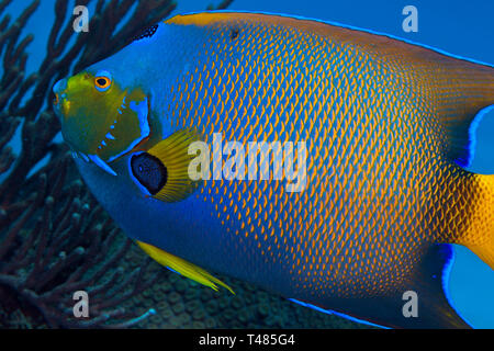 Close up image bioluminescencent Queen Angelfish (Holacanthus ciliaris). Caribbean Sea near Cozumel, Mexico. - Stock Image