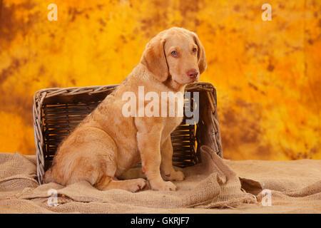 Chesapeake Bay Retriever, puppy, 10 weeks|Chesapeake Bay Retriever, Welpe, 10 Wochen - Stock Image
