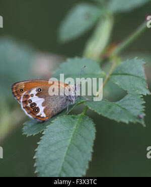Pearly heath At rest on bramble leaf Hungary June 2015 - Stock Image