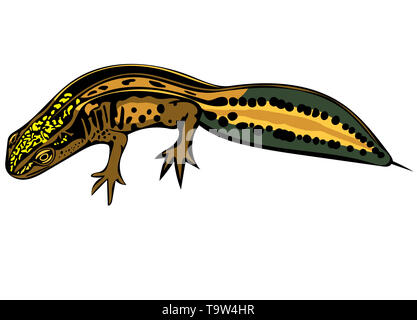 Coloured computer drawn illustration of Palmate newt in profile isolated on white background. - Stock Image