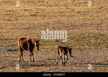 Wild Namibian Horses, Equus ferus caballus, a Mare and her Colt, walking at the Garub Waterhole at Aus, Namibia, Africa - Stock Image