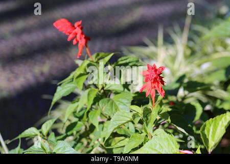 Two gorgeous bright red flowers and a lot of green leaves with a soft dark background. Photographed during a sunny spring day in Madeira island. - Stock Image