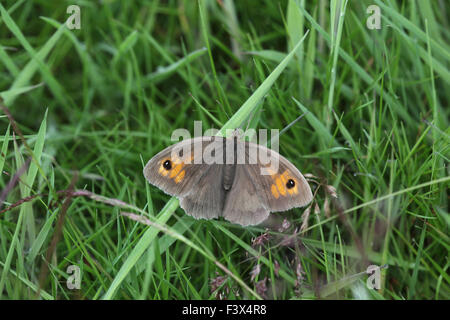 Meadow brown Maniola jurtina Female at rest in long grass Carmarthenshire June 2015 - Stock Image