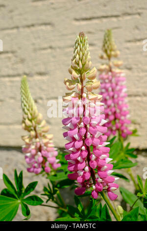 lupin lupinus growing in a rural garden zala county hungary - Stock Image