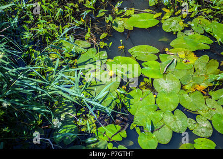 Yellow Water Lily (Nuphar lutea) - Stock Image