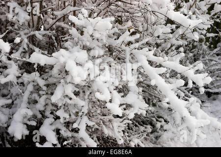 Snow covering deciduous garden shrub - Stock Image
