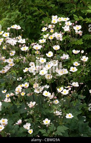 Japanese Anemone (Anemone hupehensis japonica), flowering plants. - Stock Image