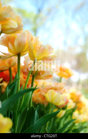 yellow flowers with beautiful blue sky - Stock Image