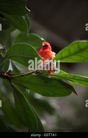 A red cardinal in a tree - Stock Image