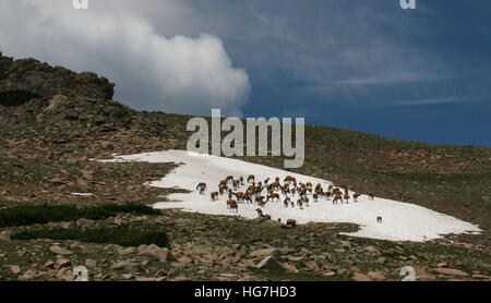 Elk herd on tundra and snow field Rocky Mountain National Park Colorado - Stock Image