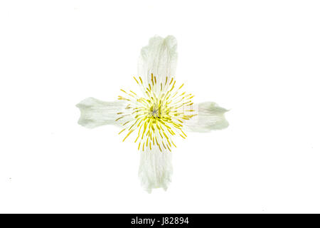 Translucent cross or cruciform shape on the white and yellow bloom of a climbing plant - Stock Image
