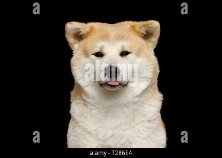 Portrait of Cute Akita Inu Dog, stick out tongue on Isolated Black Background, front view - Stock Image