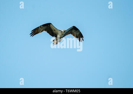 An osprey soaring through the air while carrying a flatfish - Stock Image