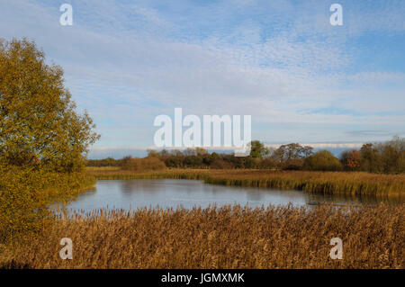 A view of the reedbeds surrounding East Lagoon at Yorkshire Wildlife Trust's Staveley Nature Reserve, Staveley, - Stock Image