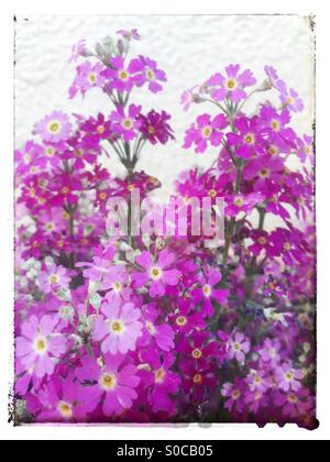 Ground pink or moss phlox in magenta and light pink tones, with vintage white frame. - Stock Image