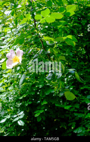 dog rose rosa canina flower blooms on the shrub in a rural garden zala county hungary - Stock Image
