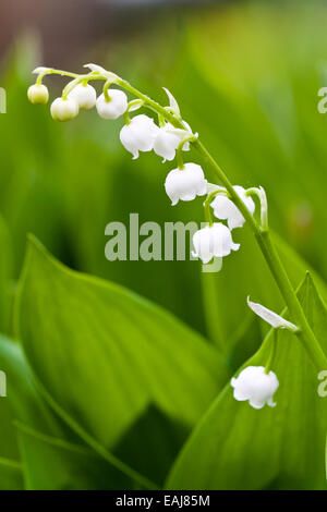White lilies flowers and green leafs, macro - Stock Image