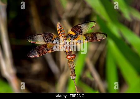 Eastern amberwing - Stock Image