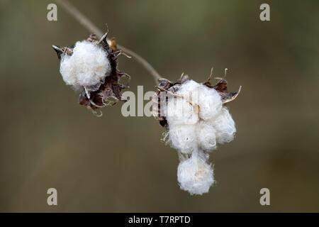 Mature seedpods of Galapagos cotton (Gossypium barbadense var. darwinii), Mallows family (Malvaceae), Floreana  Island, Galapagos Islands, Ecuador - Stock Image