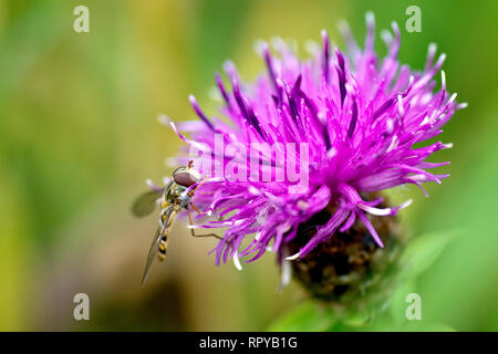 Lesser Knapweed (centaurea nigra), also known as Hardheads, close up of a solitary flower with Hoverfly at rest. - Stock Image