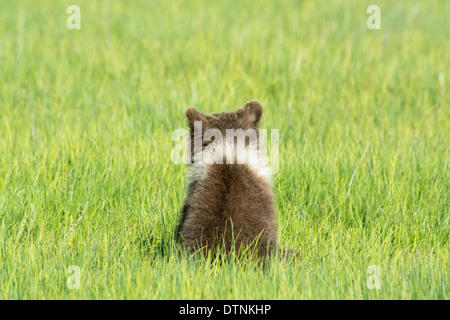 Rear View of a Grizzly Bear Cub, Ursus Arctos, showing a white collar around its neck, Lake Clark National Park, Alaska, USA - Stock Image