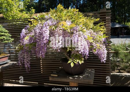 Wisteria Sinensis - Chinese Wisteria - bonsai age 30 years at Portland Japanese Garden in Portland, Oregon, USA. - Stock Image