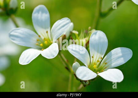 Meadow Saxifrage (saxifraga granulata), close up of a couple of flowers. - Stock Image