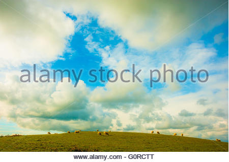 Aberystwyth Mid Wales,UK. 28th April 2016. UK Weather Sheep in the early morning sunshine on the hills above Aberystwyth, - Stock Image