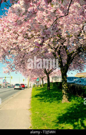 Cherry blossoms in full bloom along along a street in Maple Ridge, B. C., Canada - Stock Image