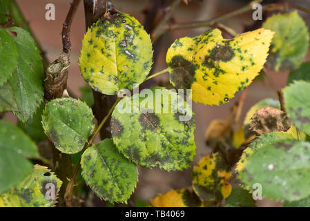 Black spot, Diplocarpon rosae, a fungal disease on rose leaves, Berkshire, May - Stock Image