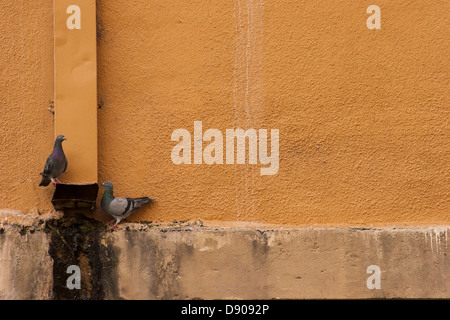 Two pigeons in front of a wall, drinking water from water gutter spout - Stock Image