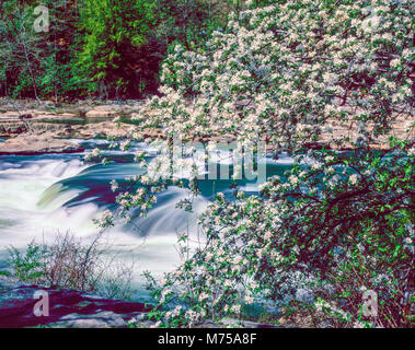 Spring blooms and cascade, Youghiogheny River, Ohiophyle State Park, Pennsylvania, Appalachian Mountains - Stock Image