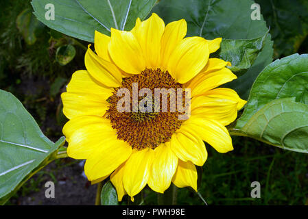 Helianthus annuus (common sunflower) native to the SW USA is now cultivated for its edible oil. The feral plant has probably become extinct. - Stock Image