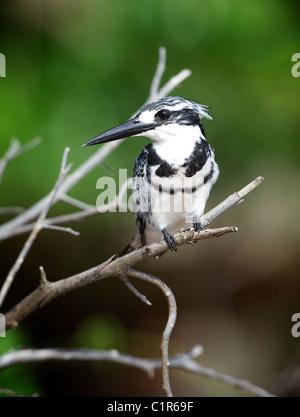 Pied Kingfisher (Ceryle rudis ) Saadani Tanzania - Stock Image