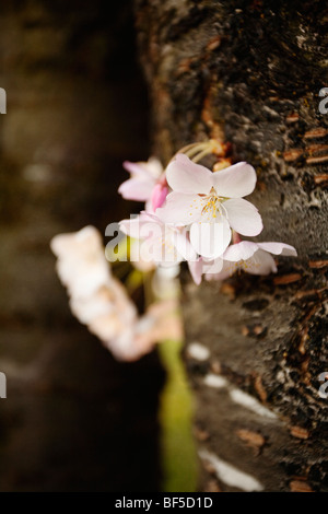 Sakura cherry blossoms at Port Moody Station Museum, Port Moody, British Columbia, Canada - Stock Image