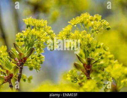 Small-leaved lime (Tilia cordata), flowers - Stock Image