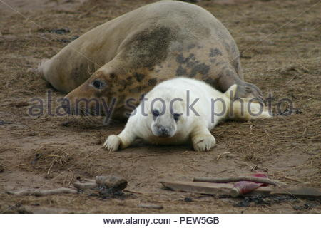 Female Grey Seal with Pup and some discarded rubbish in the foreground. - Stock Image