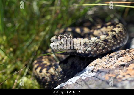 Adder (Vipera Berus) in Moorland Habitat, North Pennines, Teesdale, County Durham, UK - Stock Image