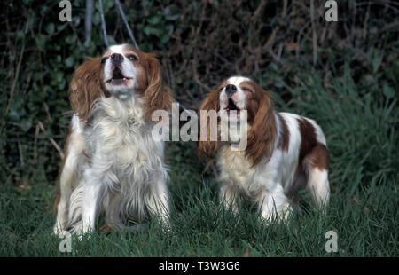 pair of King Charles spaniels barking - Stock Image