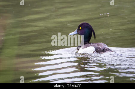 Adult male tufted duck (Aythya fuligula) swimming in a pond at the Wood Lane Nature Reserve in Shropshire, England. - Stock Image