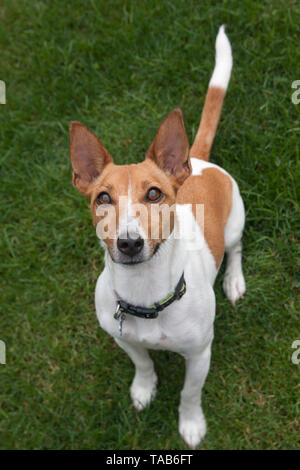 Jack Russell Terrier, Full profile one year old puppy, Sitting in garden, Looking up to camera, England, UK - Stock Image