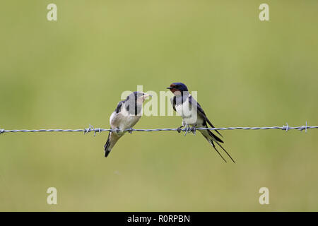 Barn Swallow, Hirundo rustica, adults and youngster with food in bill - Stock Image