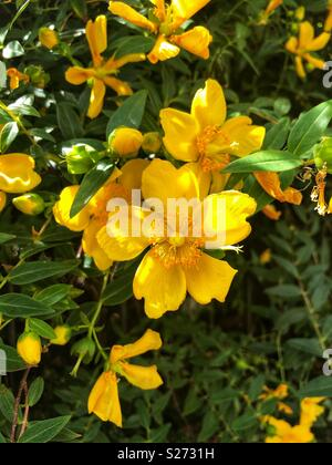 Dendromecon rigida also called bush poppy or tree poppy - Stock Image