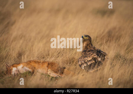 Steppe eagle, Aquila nipalensis, autumn on dried grasslands, with fox prey - Stock Image