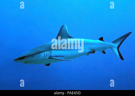 Gray Reef Shark (Carcharhinus amblyrhynchos) in the Blue. South Male Atoll, Maldives - Stock Image