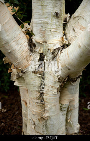 A close up of the trunk and bark of a Betulaceae Jacquemonts Birch Betula Utilis var Jacquemontii - Stock Image