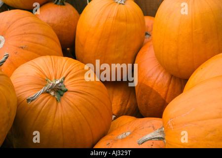 Many orange pumpkins in a bin - Stock Image