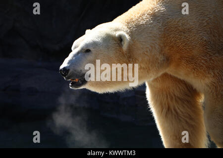 Polar bear Cincinnati Zoo captive breading - Stock Image